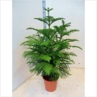 Араукария разнолистная (Araucaria Heterophylla)