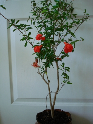 Гранат (Punica Granatum (Granaatappel))