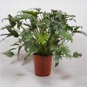 Филодендрон ксанаду (Philodendron Xanadu)
