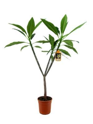 Плюмерия (Plumeria Rubra)
