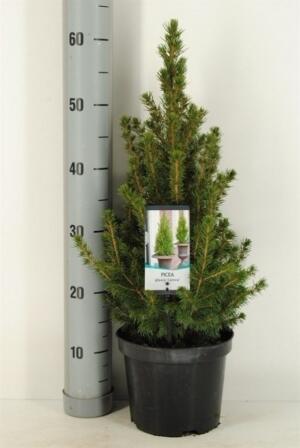 Ель коническая (Picea Glauca Conica Extra)