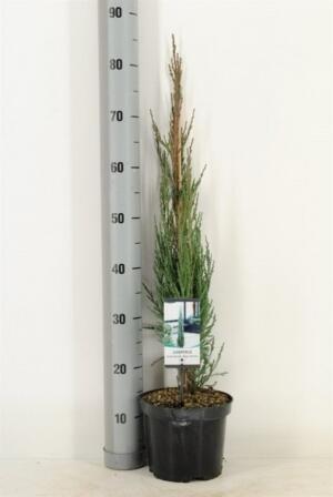 Можжевельник голубая стрела (Juniperus Blue Arrow)