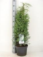 Можжевельник обыкновенный Суецика(Juniperus Suecica)