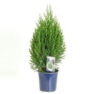 Можжевельник Стрикта (Juniperus Stricta)