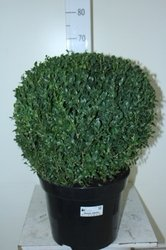 Самшит Буксус шарообразный(Buxus Semp. Ball Shape)