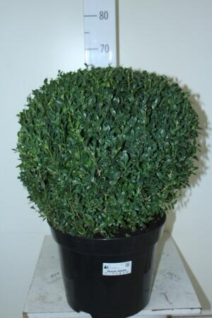 Самшит Буксус шарообразный(Buxus Semp. Ball Shape)