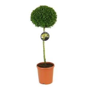 Самшит Буксус топиарий (Buxus Semp. Ball (Vd Salm))