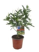 Акация серебристая(Acacia Dealbata)