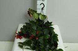 Эсхинантус(Aeschynanthus)