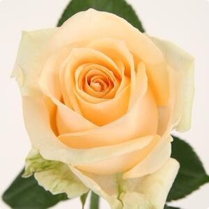 Роза Пич Аваланж (Avalanche Peach)
