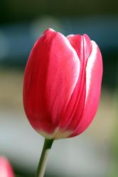 Тюльпан Furand