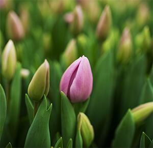 Тюльпан Alibi