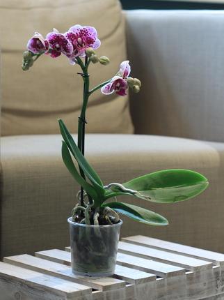Орхидея Phalaenopsis mini (Фаленопсис мини)