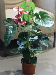 Антуриум красный (Anthurium red)