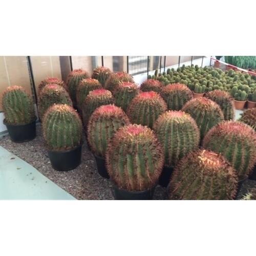 Cactus Ferocactus