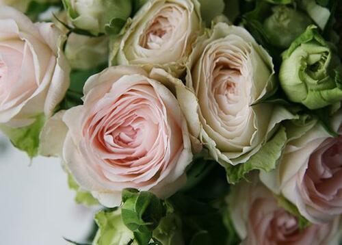 Кустовая роза Porcelain Lace