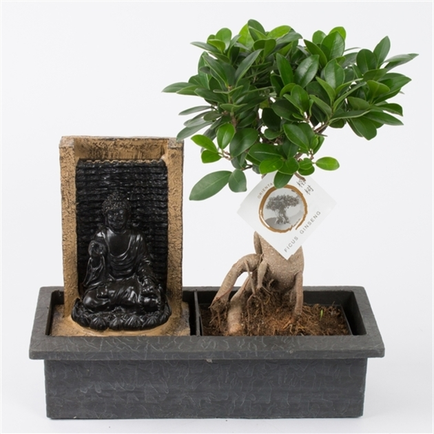 Фикус женьшень (Ficus ginseng in buddha waterfall)