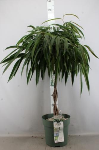 Фикус Али (Ficus Alii)