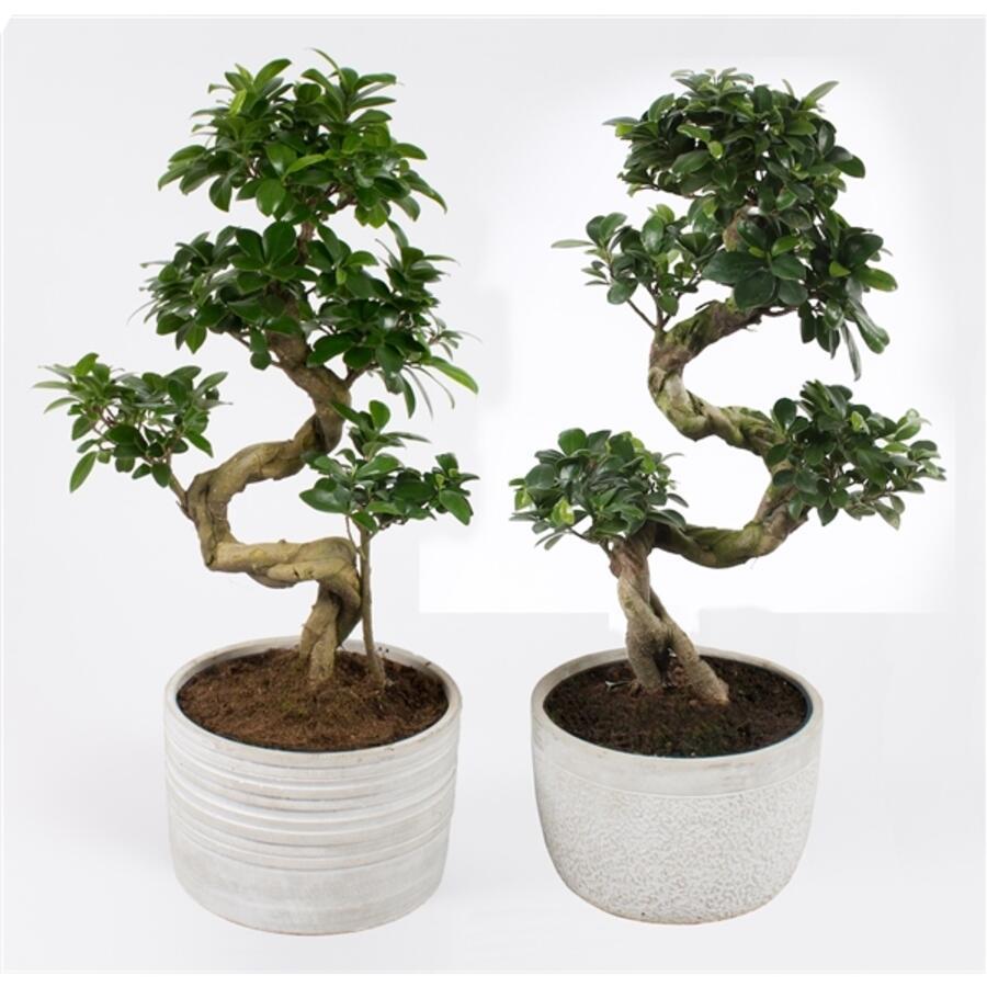 Фикус женьшень (Ficus Ginseng Ceramic)