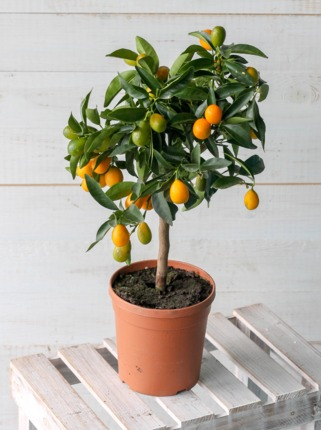 Кумкват (Citrus japonica)