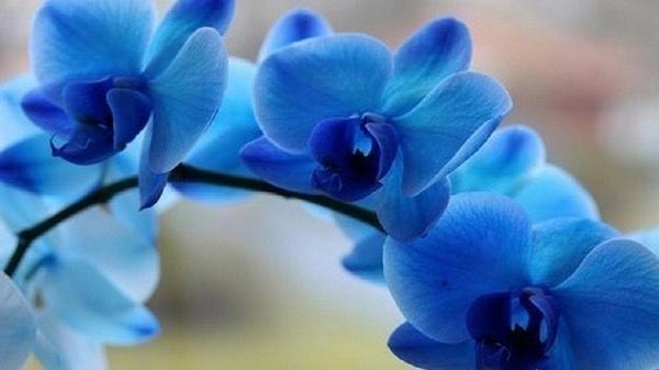 Орхидея Фаленопсис королевская голубая (Royal Blue)