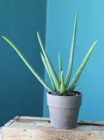Алоэ (Aloe)