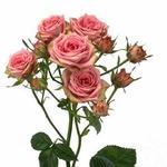 Роза «Pepita»