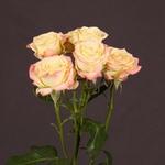 Роза «CANDELICIOUS»