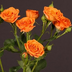 Роза «Babe»