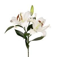 Восточная лилия белая