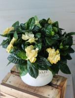 Gardenia (Гардения)