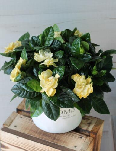 Гардения жасминовая (Gardenia)
