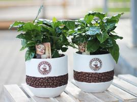 Кофе (Coffea in bonenpot)