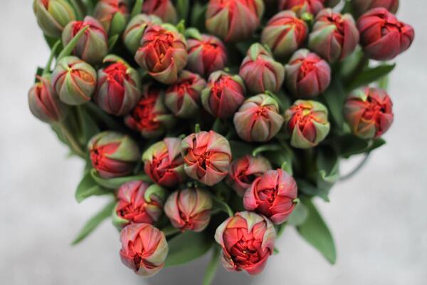 Тюльпан Red Princess