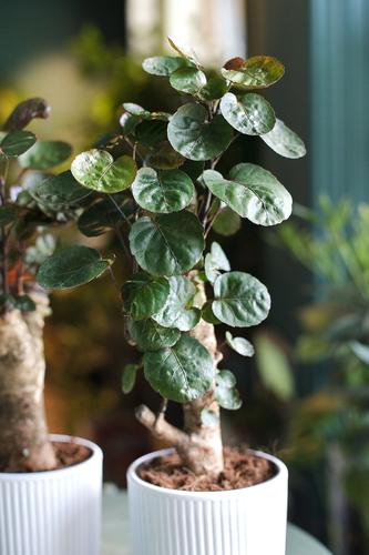 Полисциас (Polyscias scutellaria)
