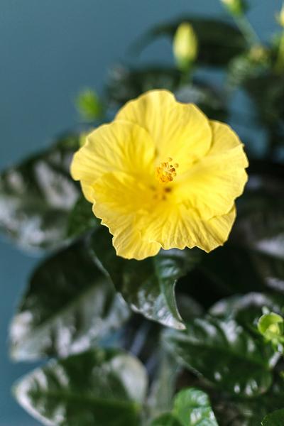 "Гибискус китайский ""Sunny Kyoto Yellow"""