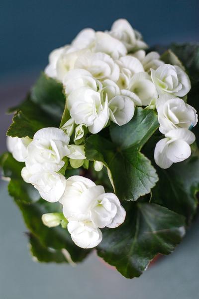 Begonia (Бегония)