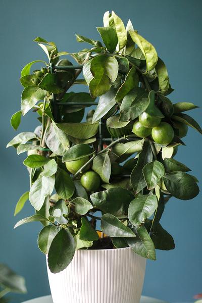 Лимон Мейера (Meyer's Lemon)