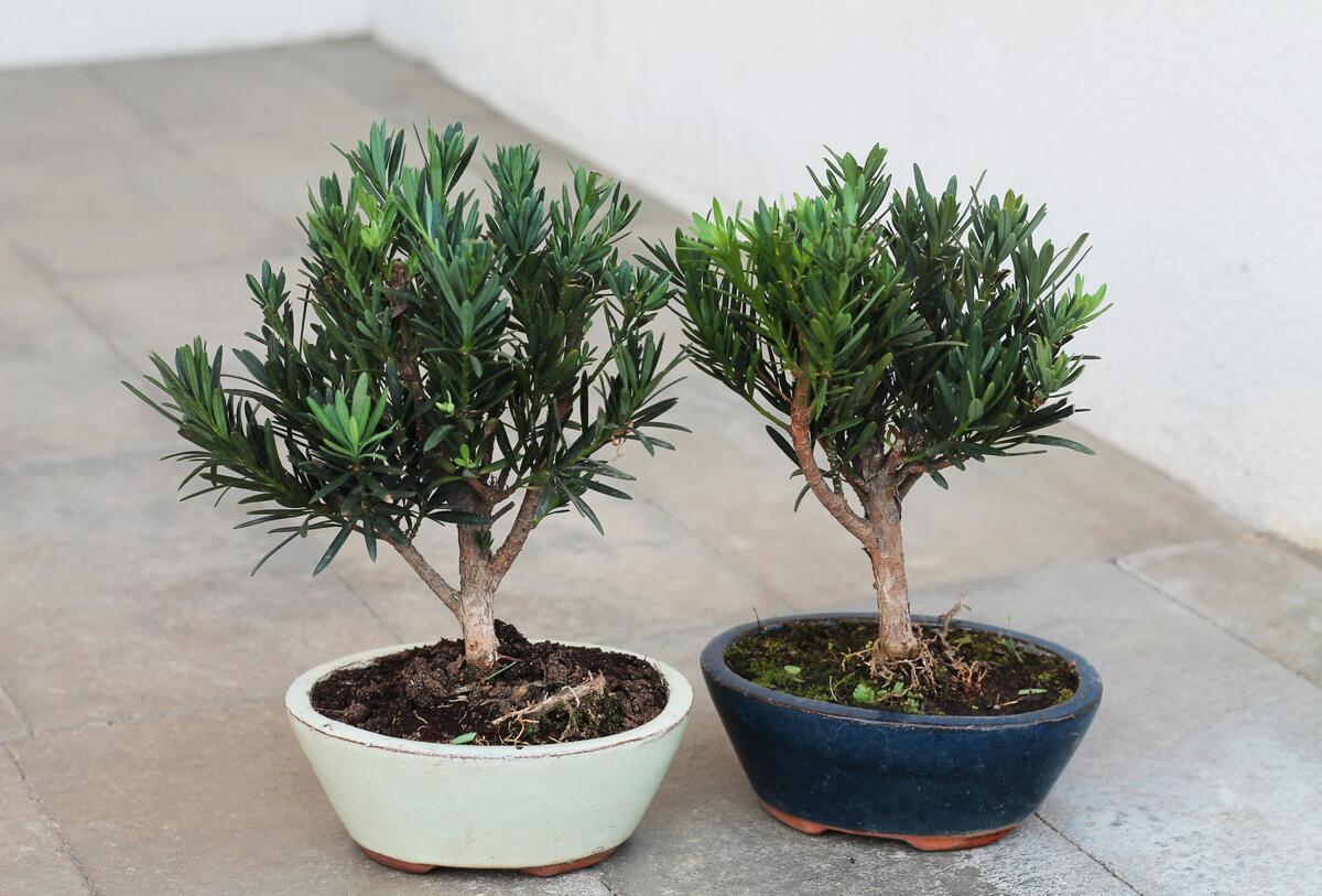Бонсай Подокарпус (Podocarpus)