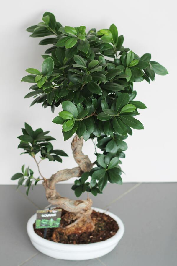 Фикус Женьшень S-образный (Ficus Ginseng S-shape)