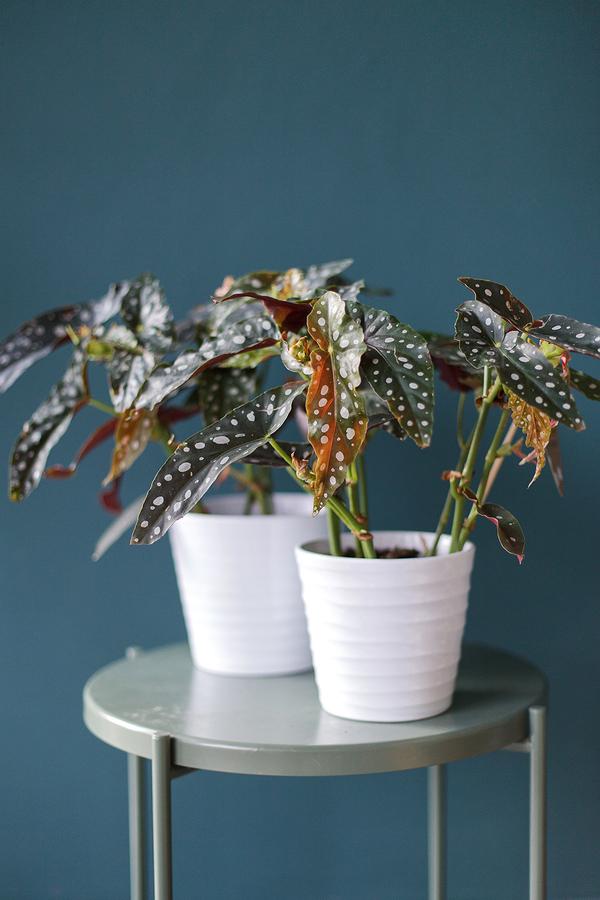 Бегония Макулата (Begonia Maculata)
