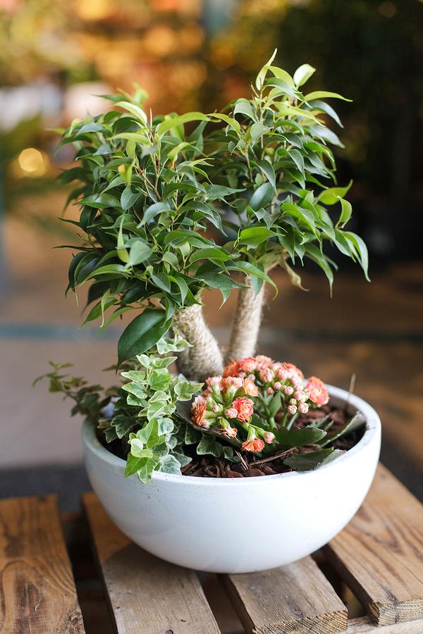 Фикус Крейзи (Ficus Crazy Tree In Schaal)