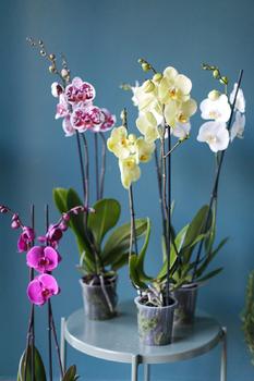 Орхидея Phalaenopsis (Фаленопсис) цветная микс