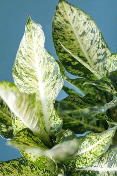 Диффенбахия пятнистая (Dieffenbachia Mars)