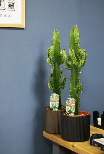 Эуфорбия эритрея Euphorbia eritrea (Молочай)