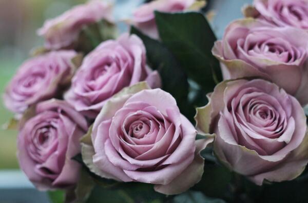 Роза Тиара (Rose Tiara)