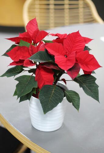 Poinsettia (Пуансеттия)