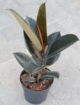 Ficus Robusta (Фикус Робуста)
