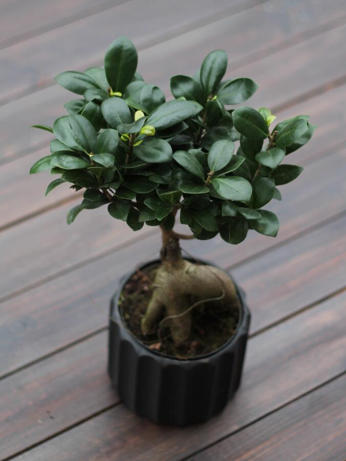 Фикус Женьшень (Ficus ginseng in concrete pot)