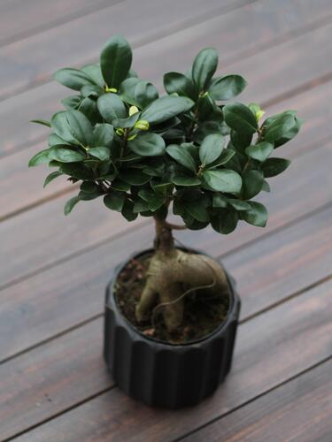 Фикус Женьшень (Ficus ginseng in concrete pot)